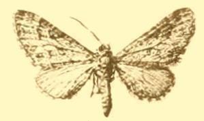 Eupithecia cooptata
