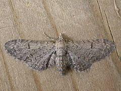 Eupithecia ultimaria httpsuploadwikimediaorgwikipediacommonsthu