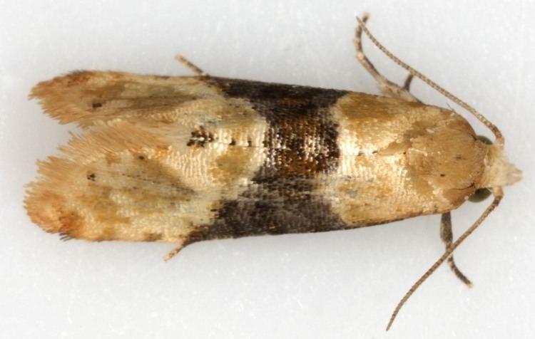 Eupoecilia britishlepidopteraweeblycomuploads59845984