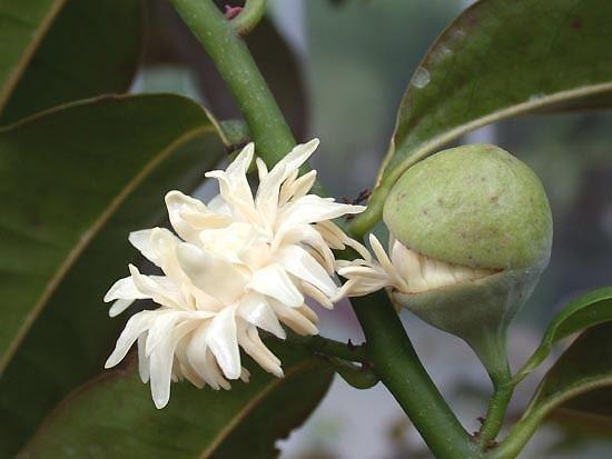 Eupomatia Evergreen or Deciduous Plants Copper Laurel Bolwarra Small