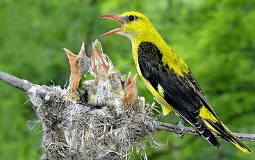 Eurasian golden oriole Eurasian golden oriole Oriolus oriolus Complete detail