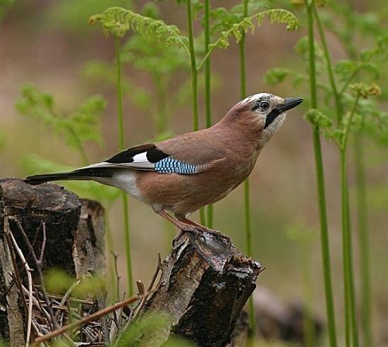 Eurasian jay wwwbirdforumnetopusimagesthumbaacEurasian
