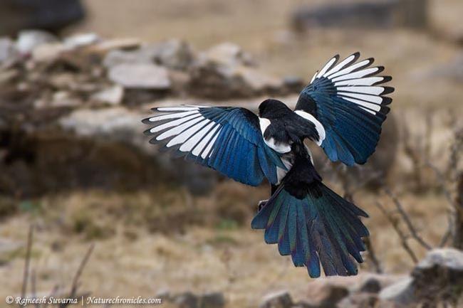 Eurasian magpie Oriental Bird Club Image Database Eurasian Magpie Pica pica