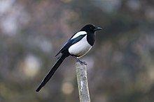 Eurasian magpie httpsuploadwikimediaorgwikipediacommonsthu