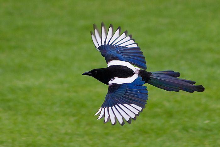 Eurasian magpie 1000 ideas about Eurasian Magpie on Pinterest Magpie Beautiful