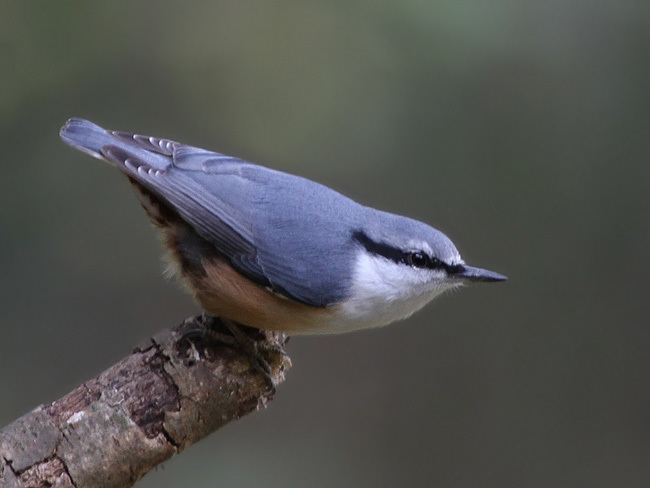 Eurasian nuthatch orientalbirdimagesorgimagesdataeurasiannuthat