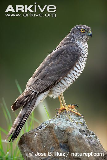 Eurasian sparrowhawk Sparrowhawk Accipiter