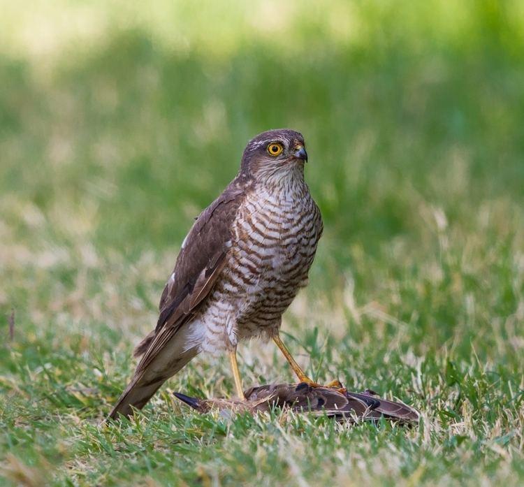 Eurasian sparrowhawk httpsuploadwikimediaorgwikipediacommonsee