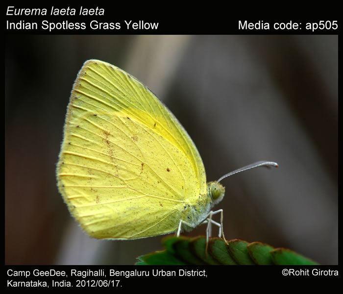 Eurema laeta wwwifoundbutterfliesorgmediaimagesEuremaLaeta