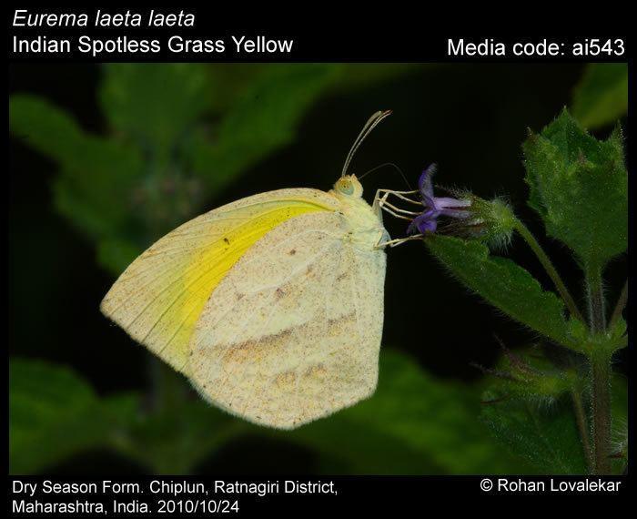 Eurema laeta Eurema laeta Spotless Grass Yellow Butterflies of India