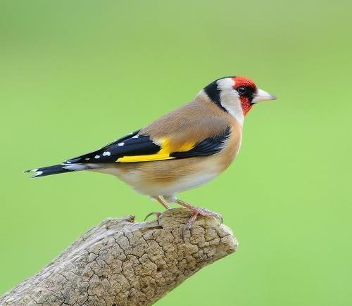 European Goldfinch Alchetron The Free Social Encyclopedia