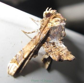 Eutelia blandiatrix