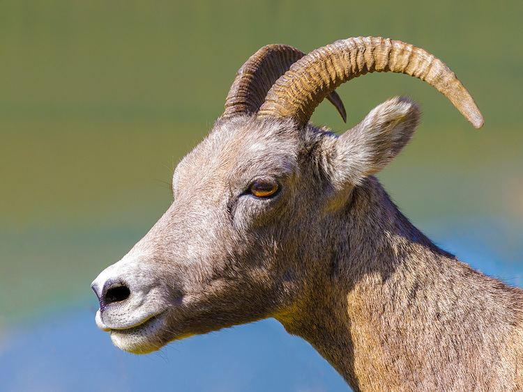 Even-toed ungulate Bighorn sheep photo galleries Roberto Melotti Nature and Landscape