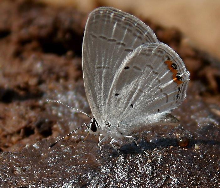 Everes lacturnus