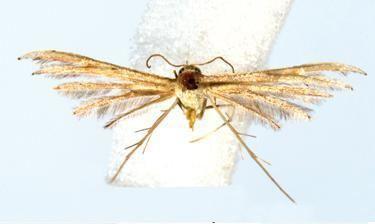 Exelastis caroli