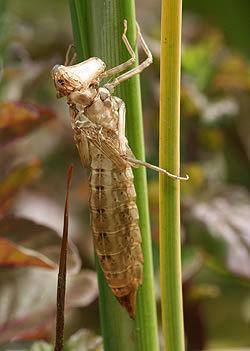 Exopterygota Division Exopterygota Amateur Entomologists39 Society AES