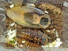 Exopterygota httpsuploadwikimediaorgwikipediacommonsthu