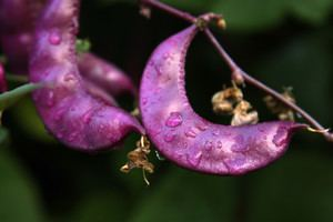 Fabaceae Fabaceae