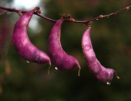 Fabaceae Fabaceae Fruits