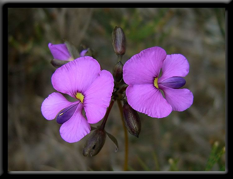 Faboideae Fabulous Pea wildflowers in Western Australia information and