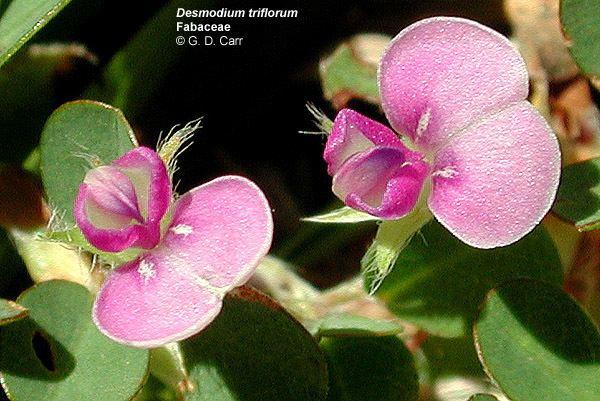 Faboideae Flowering Plant Families UH Botany