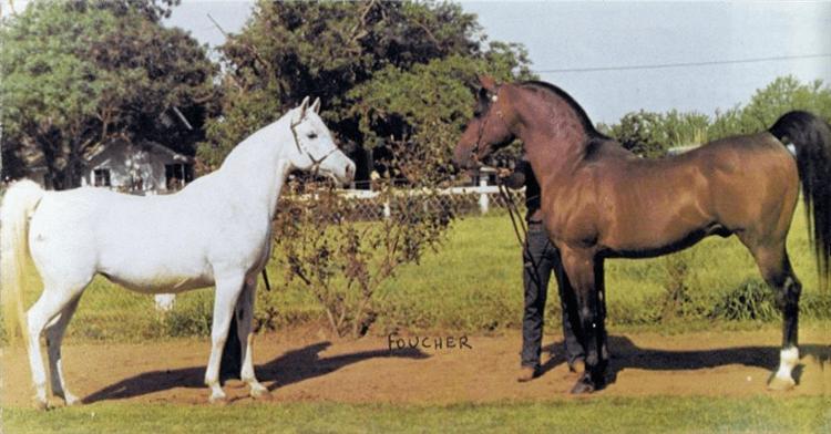 Fadjur SAKI Arabian Horse Pedegru