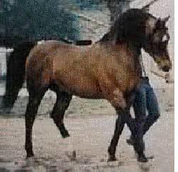 Fadjur VanMar Arabian Pintos Ancestors Fadjur Bint Sahara Fadheilan Fadl