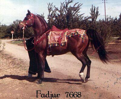 Fadjur Photo FADJUR bay stallion Fadheilan x Bint Sahara Arabian Horse