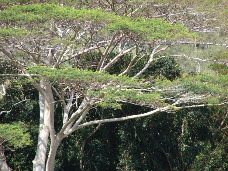 Falcataria moluccana FileStarr 0702154480 Falcataria moluccanajpg Wikimedia Commons