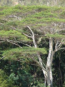 Falcataria moluccana httpsuploadwikimediaorgwikipediacommonsthu