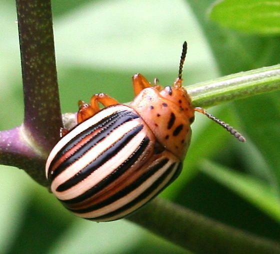 False potato beetle Maryland Biodiversity Project False Potato Beetle Leptinotarsa