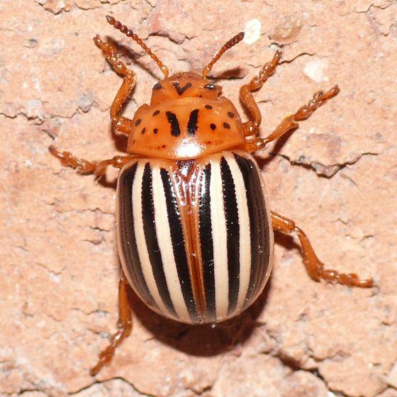 False potato beetle Leptinotarsa juncta False Potato Beetle Leptinotarsa juncta