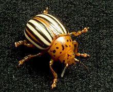 False potato beetle httpsuploadwikimediaorgwikipediacommonsthu