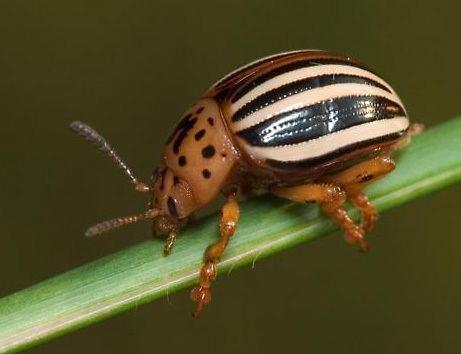 False potato beetle Potato Beetle Leptinotarsa juncta Germar