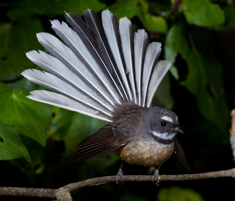 Fantail Alchetron The Free Social Encyclopedia Recent examples on the web esper will deliver his remarks from the fantail of the historic ship, now moored in pearl harbor. fantail alchetron the free social encyclopedia
