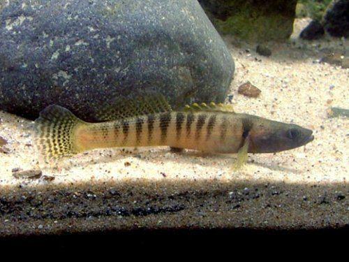Fantail darter BTDartersAmericanNative Fish for your aquariumand more