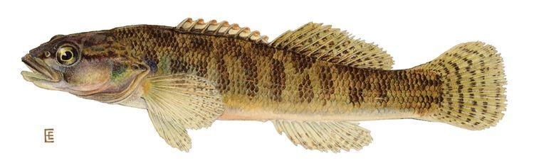 Fantail darter Fantail Darter Etheostoma flabellare