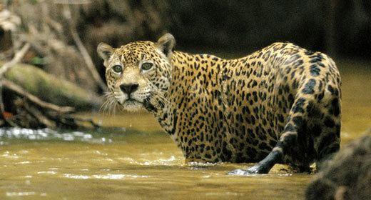 Fauna Jaguar Fauna amp Flora International