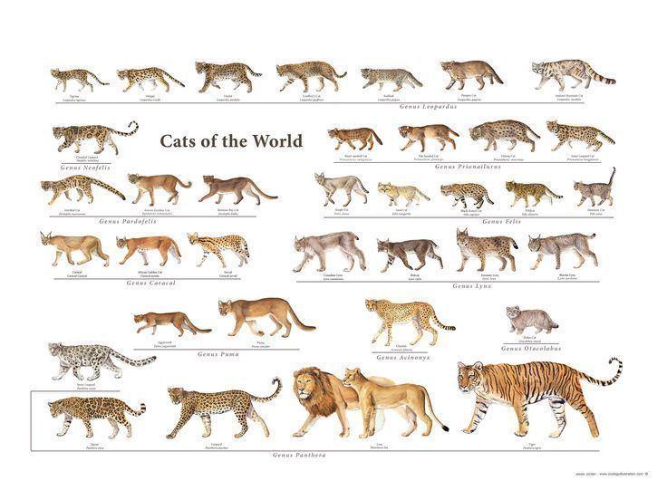 Felidae Intro to Felidae Family Animal Almanac