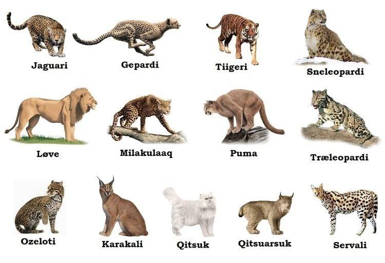 Felidae Eskimo Land Greenlandic felidae