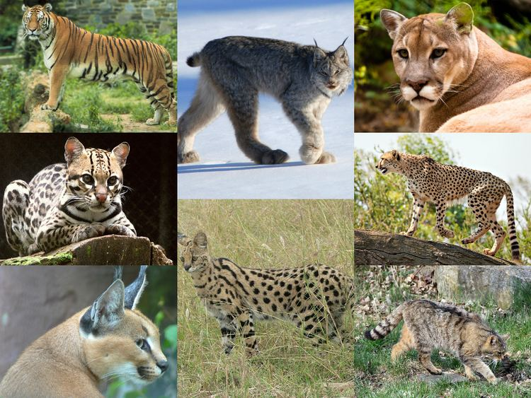 Felidae httpsuploadwikimediaorgwikipediacommons55