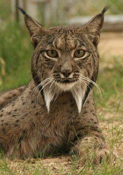 Felinae httpsuploadwikimediaorgwikipediacommonsthu