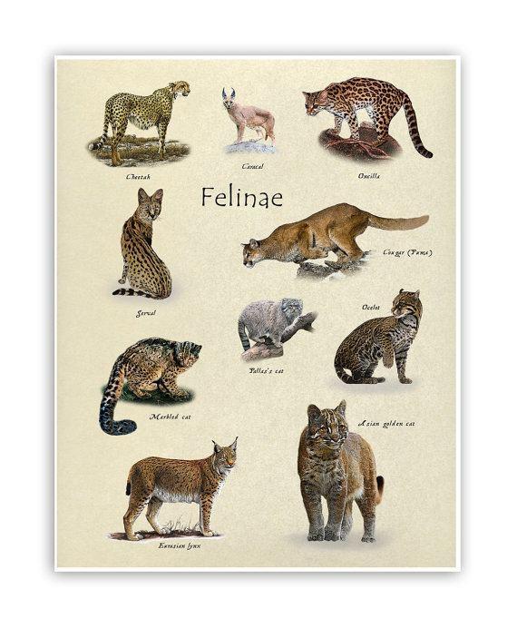 Felinae Items similar to Felinae Cat Family Decoration print 11quot x 14quot on