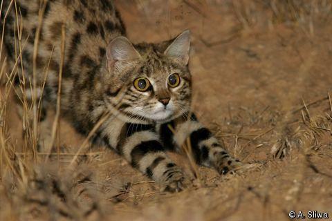 Felis Felis nigripes Blackfooted Cat Smallspotted Cat
