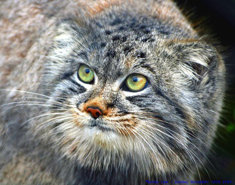 Felis FileFelis manul Howletts Wild Animal Park 8jpg Wikimedia Commons
