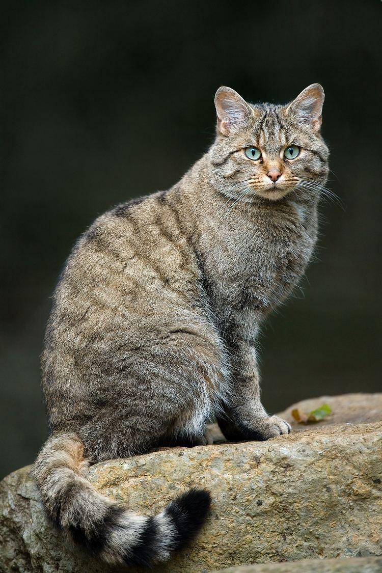 Felis Wildcat Wikipedia