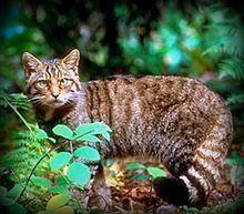 Felis httpsuploadwikimediaorgwikipediacommonsthu