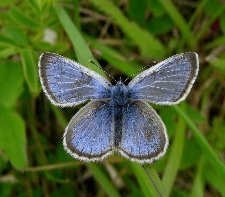 Fender's blue butterfly Pollinator partnerships How the fender39s blue butterfly in