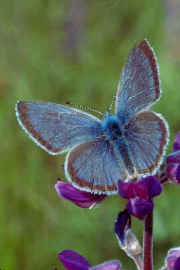 Fender's blue butterfly httpsuploadwikimediaorgwikipediacommons55