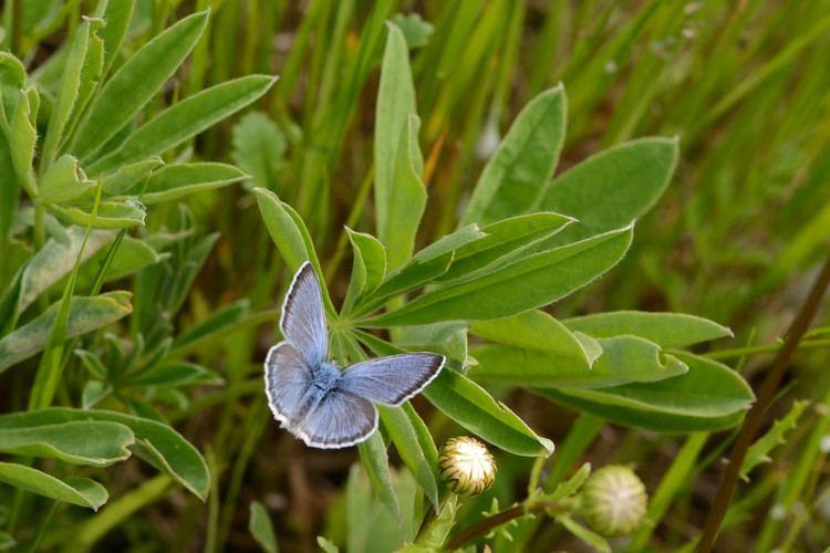 Fender's blue butterfly Fender39s Blue Butterfly Prairie Habitat